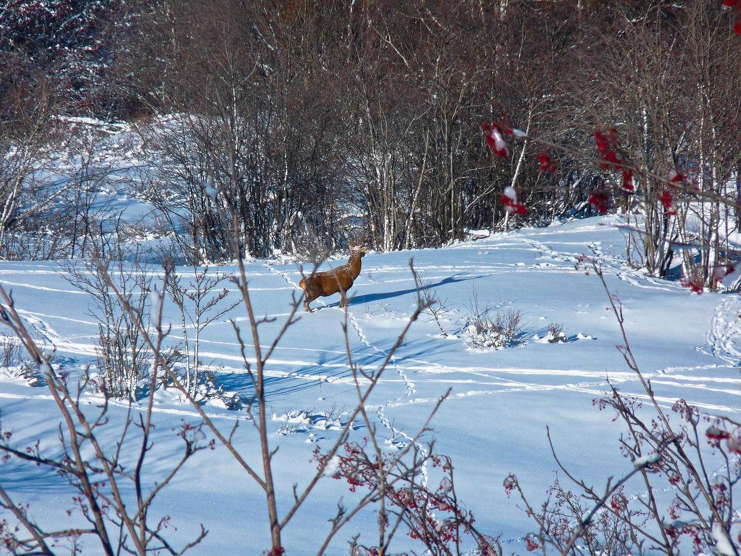 Un cerf se promène, espérons qu'il ne se fasse pas manger par les loups !